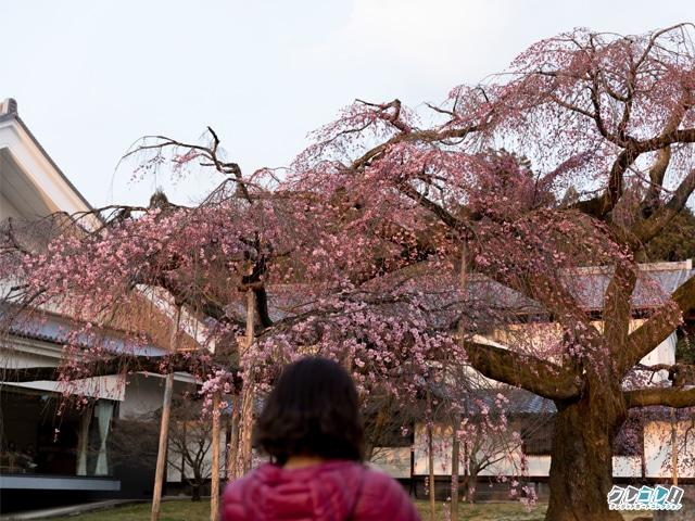 霊宝館 醍醐深雪桜