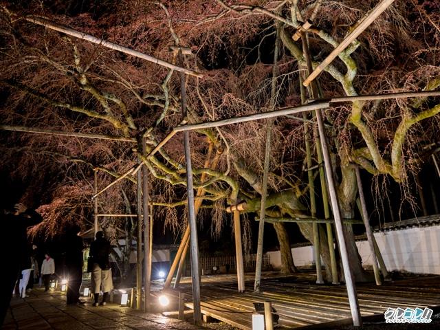 三宝院 太閤しだれ桜の夜間ライトアップ