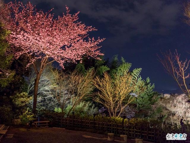 台所坂前の桜